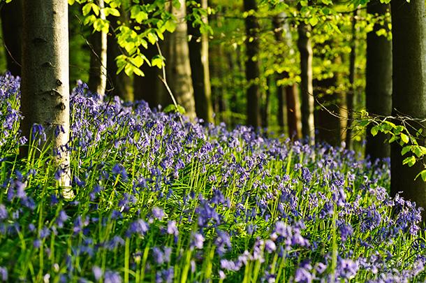 Những bông hoa chuông xanh đã có mặt ở đây hàng thế kỉ nhưng các cây gỗ thì có tuổi đời trẻ hơn thế nhiều lần. Chúng bị tàn phá trong thế chiến thứ nhất bởi lực lượng chiếm đóng, trừ một số cây sồi cổ thụ vẫn còn tồn tại đến ngày nay.