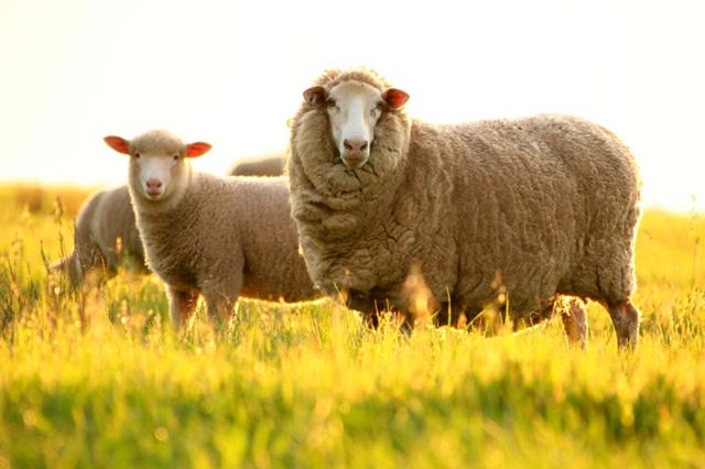 Tinh dầu hạt nho được kết hợp với các thành phần nhau thai cừu, tinh dầu hoa anh thảo... trong Charmlux giúp da trắng sáng mịn màng