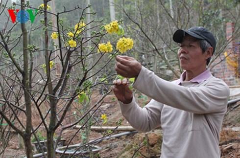 Mai vàng Yên Tử nay đã được trồng tại các hộ dân tại Uông Bí, Đông Triều (Quảng Ninh).
