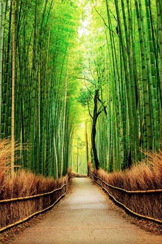 Nằm tại ngoại ô Kyoto, Nhật Bản, rừng trúc nhiệt đới Sagano là một thế giới thần tiên kỳ ảo. Rừng trúc cao vút, xanh tươi đung đưa theo gió, âm thanh kẽo kẹt kì lạ được tạo ra khi chúng va vào nhau.