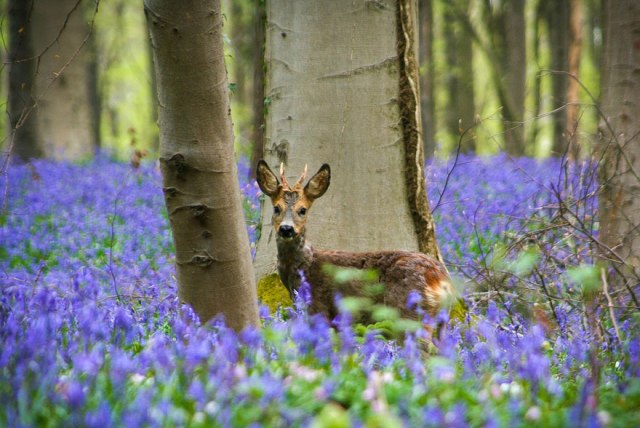 """Trong rừng còn rất nhiều các loại hoa khác cùng nở như hoa me chua gỗ nhỏ, hoa cỏ ba lá… nhưng """"ngôi sao"""" của rừng vẫn là những bông hoa chuông xanh tím."""