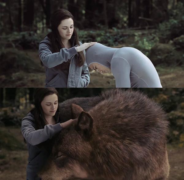 Trong khi đó, con sói to lớn trong phim Twilight Saga: Eclipse lại có hình dáng ngoài đời như trên.