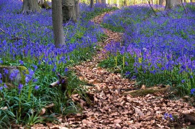Hoa có hình dạng như những chiếc chuông nhỏ xíu, phát triển mạnh dưới tán sồi của rừng Hallerbos bắt đầu từ cuối tháng Tư.