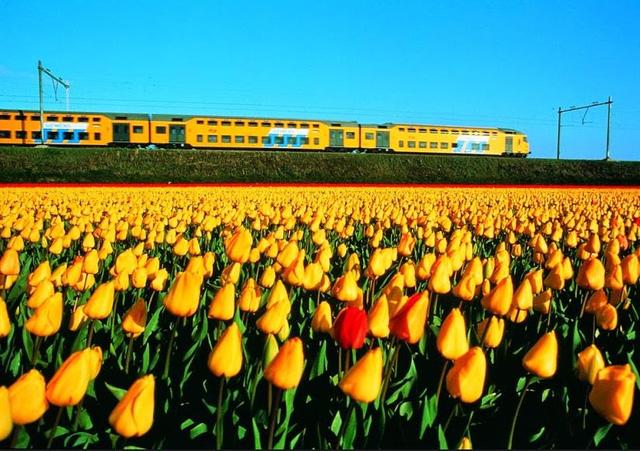 Thậm chí còn có những đoàn tàu trùng màu với hoa