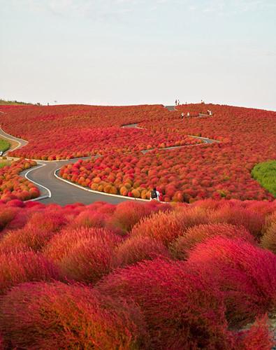 Mùa thu là thời gian tuyệt nhất để thăm công viên ven biển Hitachi, một công viên nổi tiếng ở bờ biển phía đông đảo Honshu - hòn đảo lớn nhất Nhật Bản. Đây là địa điểm lí tưởng để bạn có một kì nghỉ ngắn tạm rời xa những ồn ào, vội vã của chốn thị thành.