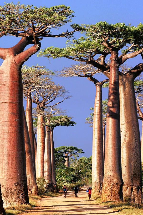 Hàng cây baobab khổng lồ ở Morondava, Madagascar
