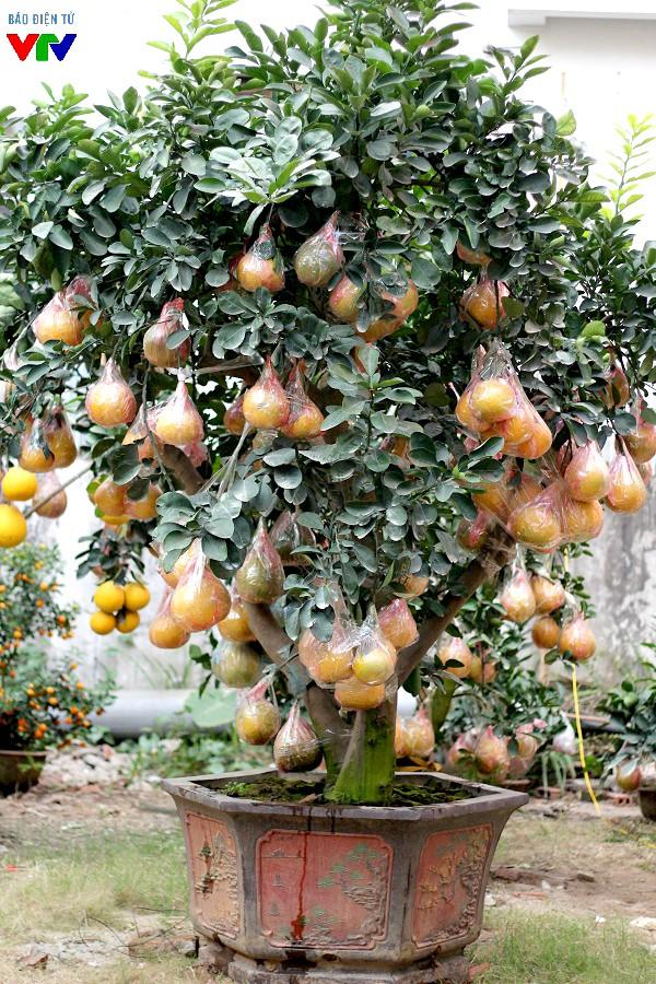 Cây bưởi này có giá thuê 35 triệu đồng. Trên cây có khoảng 120 quả và thâm niên 15 năm.
