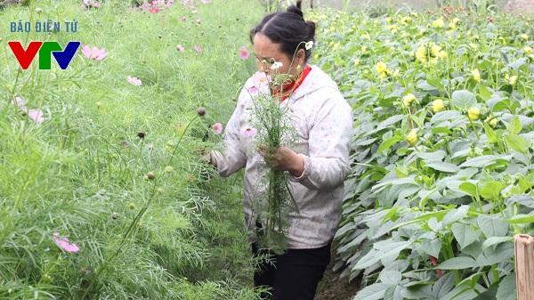 Để có được những bông hoa đẹp, người nông dân phải cần mẫn với những luống hoa nhiều ngày.