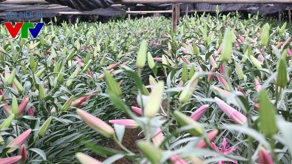 Trong những năm gần đây, hoa ly được trồng nhiều tại làng hoa Tây Tựu