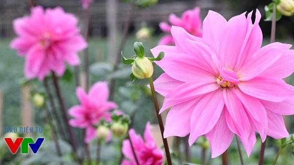 Chính vì vẻ đẹp và được nhiều người yêu thích nên hoa thược dược đã đang được tăng diện tích trồng tại Tây Tựu