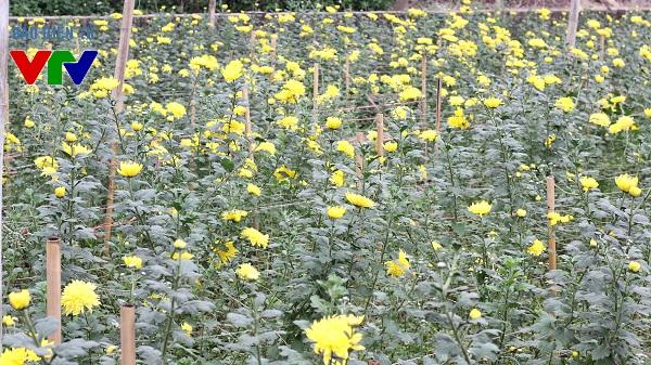 Hoa cúc cũng được trồng nhiều tại làng hoa Tây Tựu