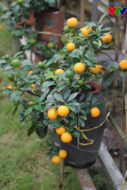 Loại quất bonsai này khá hot và được nhiều người lựa chọn vì dáng đẹp, tiết kiệm diện tích và khá độc đáo. Giá cho mỗi bình quất trung bình khoảng 1 triệu đồng, loại đẹp và lạ có thể lên tới vài triệu nhưng vẫn nhiều người chọn mua.