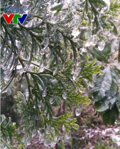 Những giọt nước trên cây bị đóng băng khi sắp rơi xuống