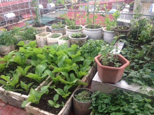 Để có thể có được một vườn rau sạch tại nhà, cần chăm chút và cẩn thận trong từng khâu như chọn đất, chọn giống, chăm bón, bảo vệ...