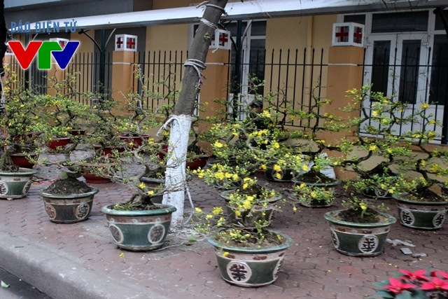 Hoa mai rộ sắc vàng trên đường Lạc Long Quân
