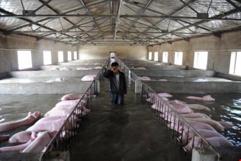 Một chủ trang trại ở tỉnh An Huy khóc vì không thể sơ tán heo (Ảnh: Reuters)