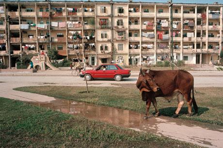 Hà Nội, 1989: Một chú bò thong dong đi lại trước sân một khu tập thể