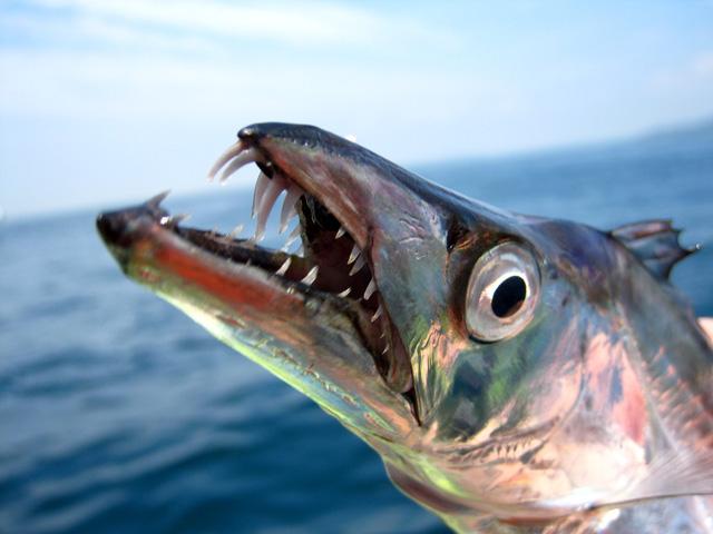 Nhiều người cho rằng quái thú bí ẩn này chính là cá hố hairtail
