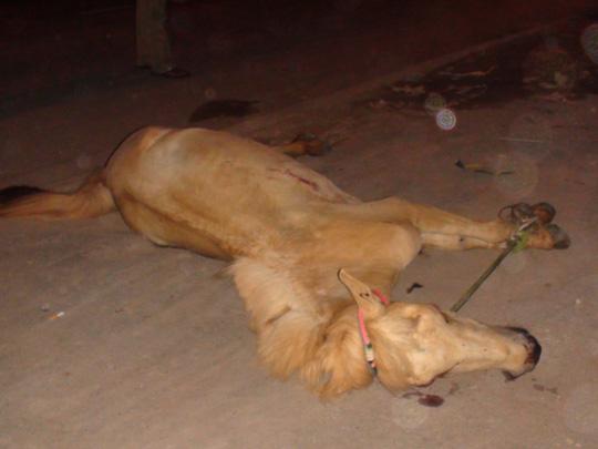 Sau khi bị đâm, con ngựa nằm bất động, gần chết. (Ảnh: nld.com.vn)