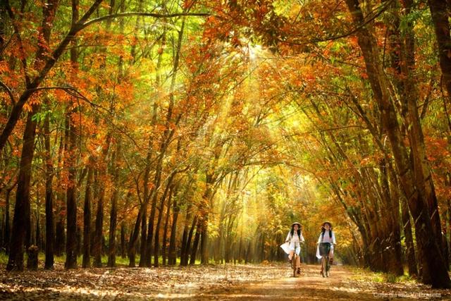 ...Đó cũng có thể là hình ảnh của những cô nữ sinh đạp xe trên con đường đi qua rừng cao su ngập tràn lá vàng ở Bình Dương. (Tác giả: Trần Công)