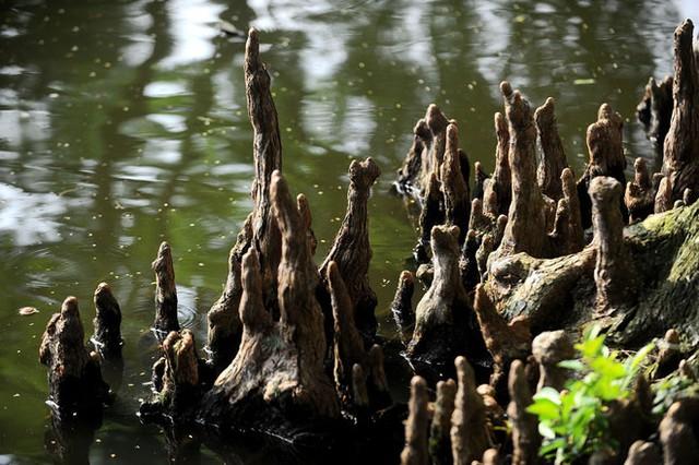 Ao cá Bác Hồ có diện tích 3.320m vuông, độ sâu trung bình 2 m, có nhịp cầu cong bắc qua eo nước hẹp, xung quanh có nhiều cây bụt mọc, chạy men theo bờ nước, rễ cây mọc nổi như hàng trăm pho tượng.