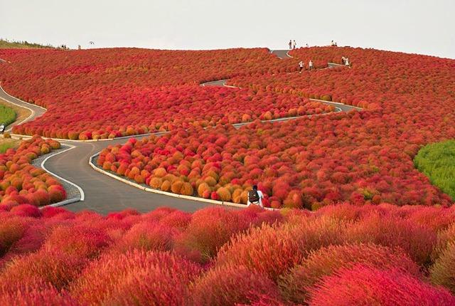 Tuyệt tác thiên nhiên ghi dấu ấn lên công viên Hitachi ở Nhật Bản mỗi độ thu về. Nhiều du khách vượt quãng đường xa xôi đến Nhật để ghi lại vẻ đẹp của rừng cây đỏ rực nối dài đến chân trời xa tít tắp.
