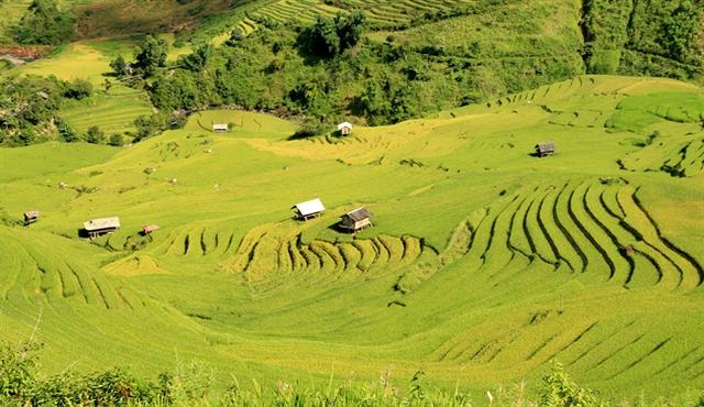Vào giữa tháng 9 đến đầu tháng 10 là thời điểm lúa vàng ươm trên núi đồi Mù Cang Chải. (Nguồn: ANTV)