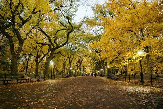 Rồi đồng loạt khoác lên chiếc áo vàng thơ mộng và những thảm lá vàng phủ đầy trên lối đi