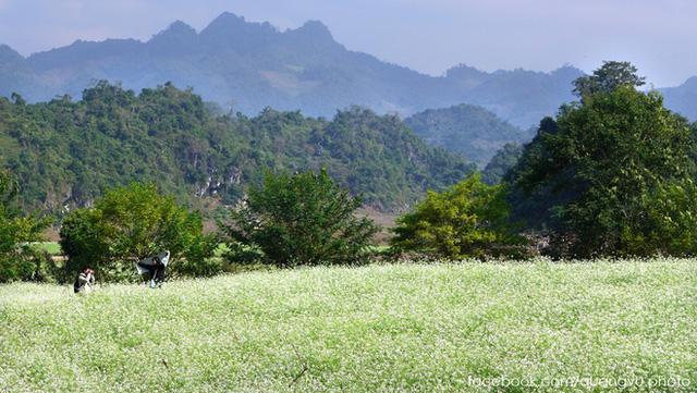 Cải trắng ở Mộc Châu được trồng nhiều ở phía sau rừng thông bản Áng, khu vực Ngũ Động Bản Ôn và các bản Ba Phách 1, 2, 3.