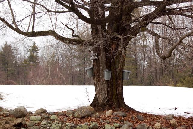 Và bạn cũng chớ bỏ qua món bánh kếp quết siro cây thích. Đây là một đặc sản của vùng New England