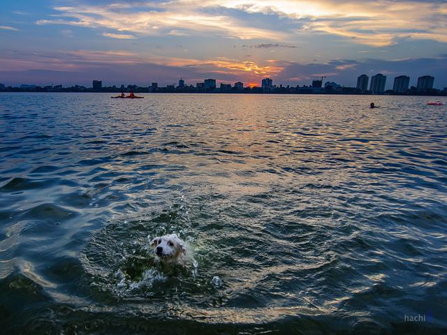 Một chú cho được giải nhiệt dưới làn nước của hồ Tây.