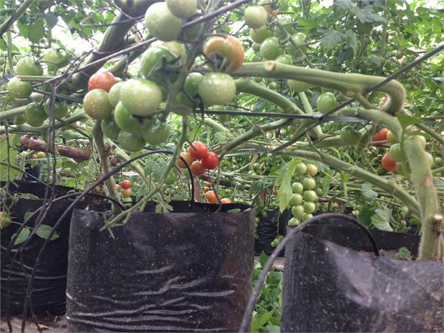 Cà chua cũng được sản xuất theo quy trình Viet Gap