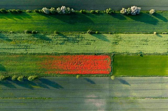 Cánh đồng lúa chín vào mùa xuân với hoa cúc trắng, hoa ngô màu xanh và cỏ dại. (Ảnh: Kacper Kowalski—Panos Pictures)