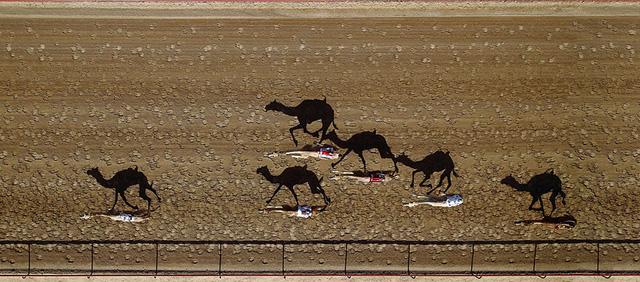 Hình ảnh một cuộc đua lạc đà diễn ra ở Dubai