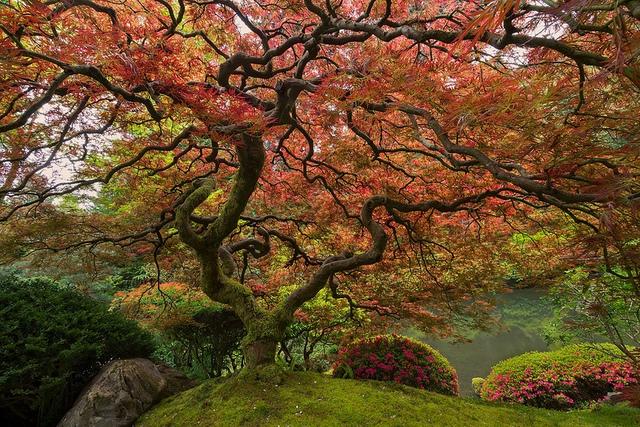 Cây gỗ thích Nhật Bản xòa tán lá rộng ở Portland.
