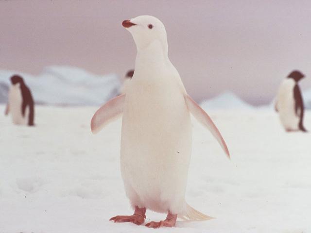 Chú chim cánh cụt có màu sắc hòa lẫn với băng, tuyết.
