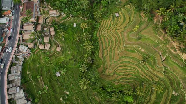 Cánh đồng lúa ở Bali