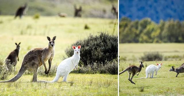 Chú kangoroo màu trắng đáng yêu tại Australia.