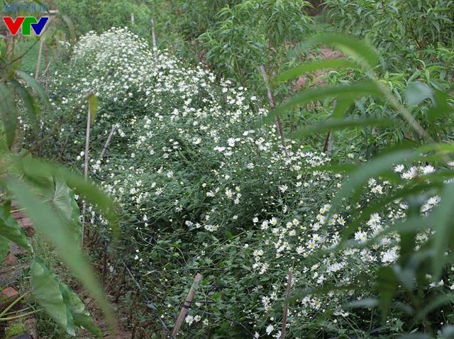Cúc họa mi thường được trồng xen kẽ giữa vườn đào, tập trung ở khu bãi đá sông Hồng, sau chợ hoa Quảng An, Hà Nội.