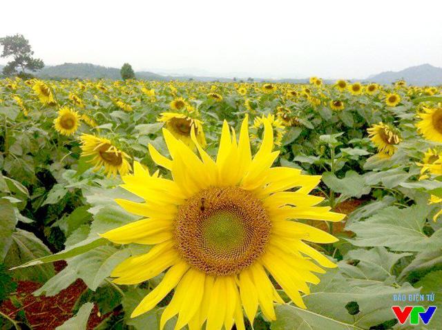 Những bông hoa hướng dương màu vàng ươm, phủ kín vùng đất rộng bao la luôn có sức hút khó cưỡng với những ai đã đi qua.