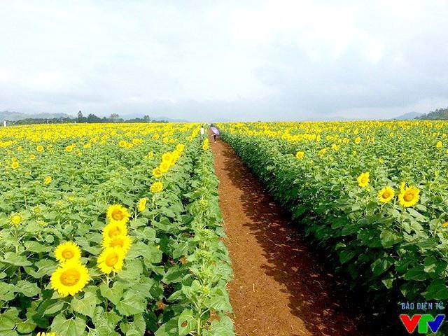 Cánh đồng hoa hướng dương bạt ngàn màu vàng dưới ánh nắng đầu đông khiến khách tham quan đều trầm trồ vì quá đẹp.