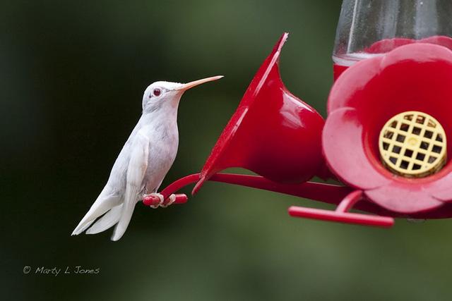 Loài chim ruồi cũng có con mang màu trắng.