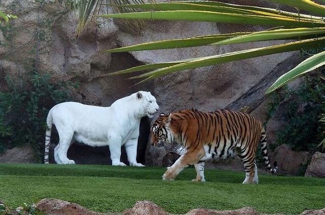 Hổ trắng trong một vườn quốc gia.