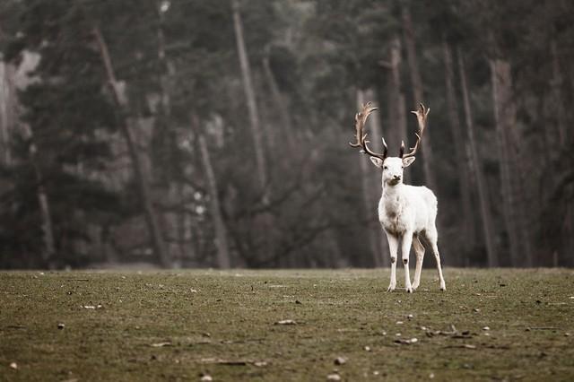 Hươu màu trắng tuyệt đẹp.