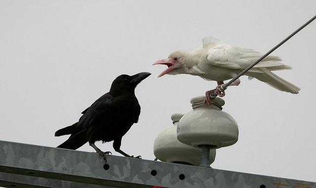 Thật khó để nhìn thấy loài quạ màu trắng.