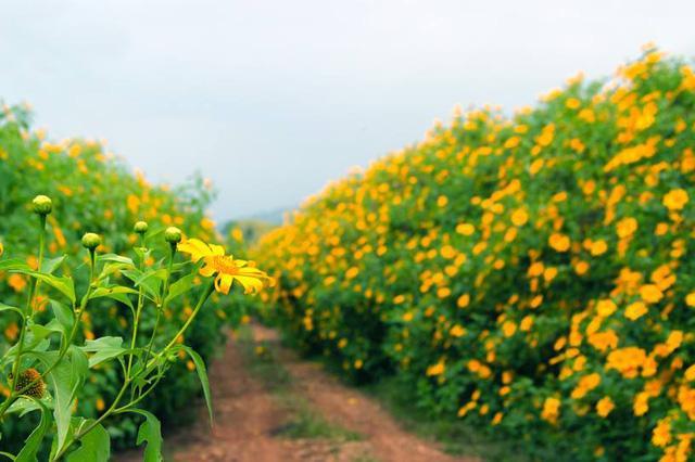 Hoa dã quỳ nở vàng rực trải dài khắp các con đường. (Ảnh: foody)