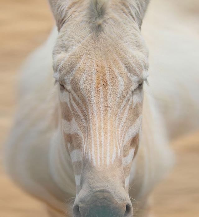 Bạn sẽ hiếm có cơ hội thấy một chú ngựa vằn trắng - nâu như thế này.