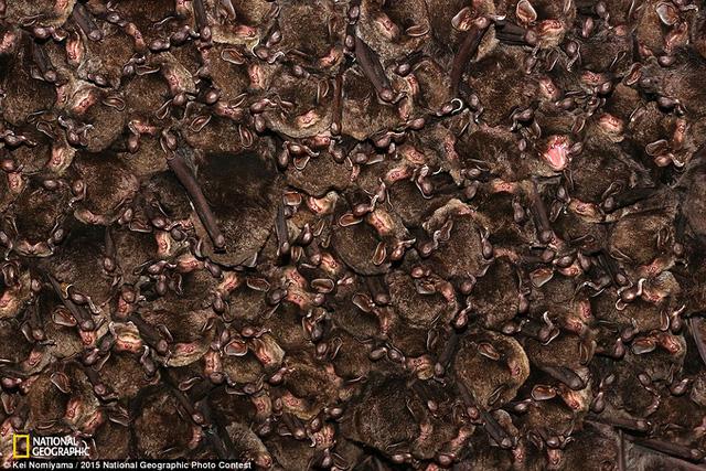 Bức hình chụp khoảng 800 con dơi được nhiếp ảnh gia Kei Nomiyama đặt tên là Eastern Bent-winged bat.