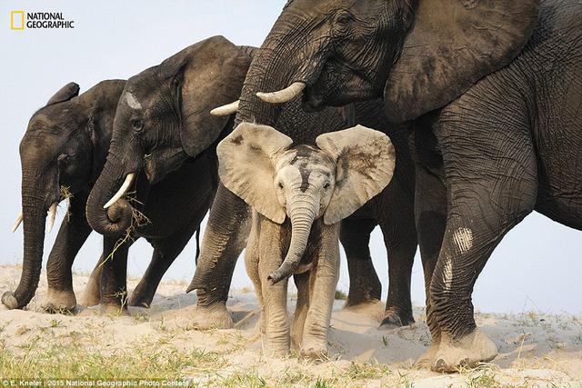 Bức ảnh A Sandy Disguise được tác giả Eric Kneler chụp tại Botswana, châu Phi.