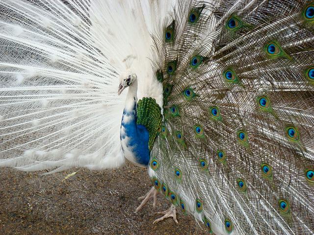 Lạ mắt với chú công có chiếc đuôi bên rực rỡ màu sắc, bên trắng.